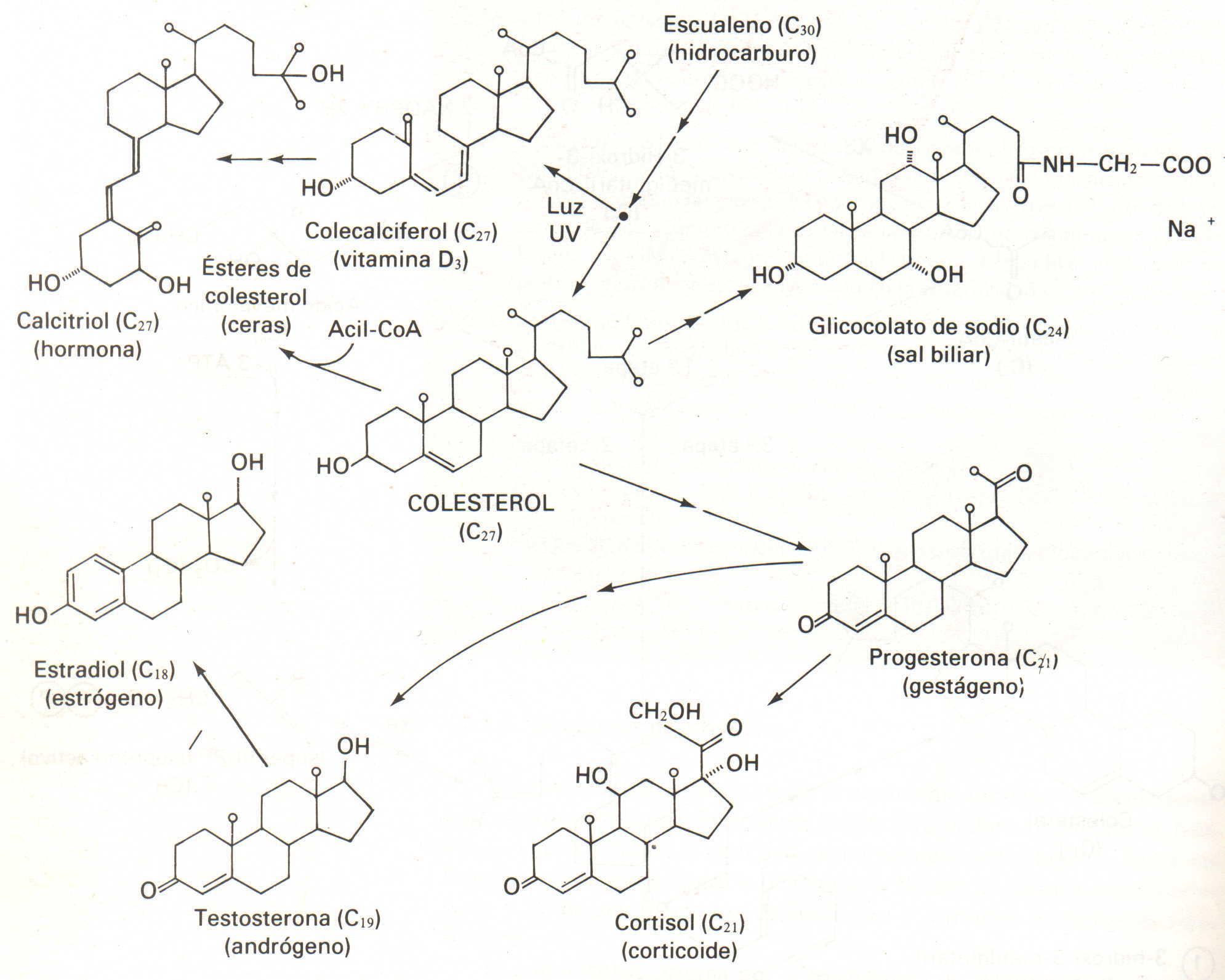 biosintesis de esteroides